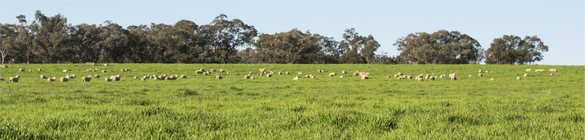Mudgee Sheep in a Paddock